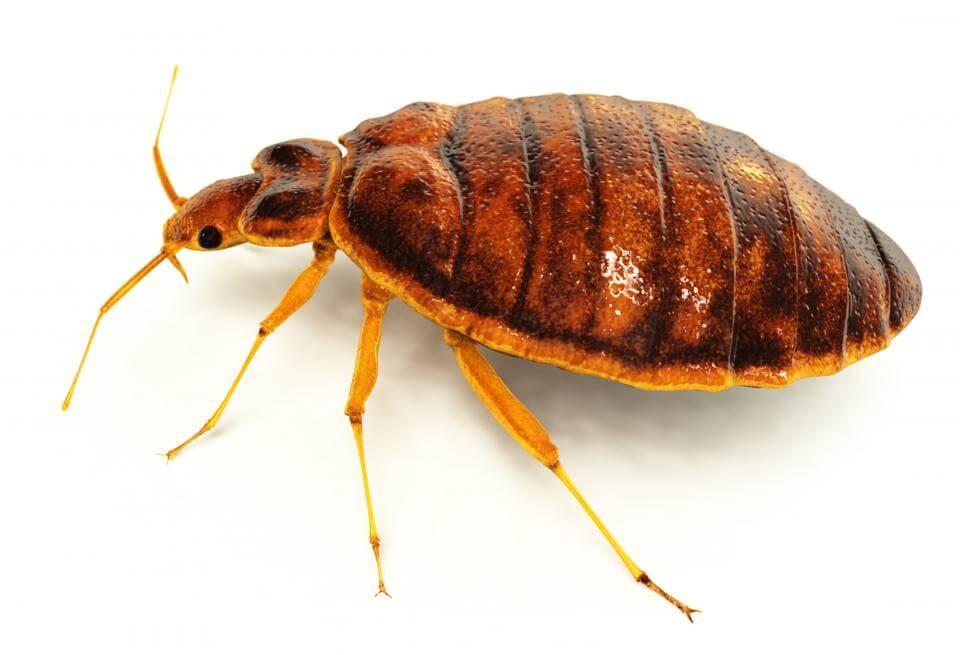 big bedbug